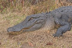 Colpo capo di un prendere il sole dell'alligatore Immagini Stock Libere da Diritti