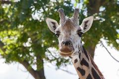 Colpo capo di una giraffa con un fondo confuso piacevole Immagini Stock