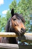 Colpo capo di verticale del cavallo maestoso di marrone scuro fotografia stock