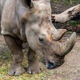 Colpo capo e profilo del rinoceronte fotografie stock libere da diritti