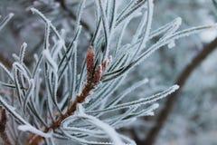 Colpo congelato di macro del pino fotografia stock libera da diritti