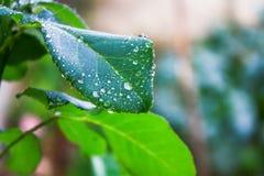 Colpo del dettaglio delle gocce di acqua sulle foglie Fotografia Stock Libera da Diritti