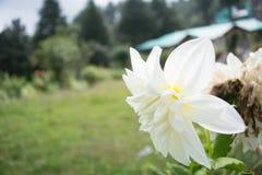 Colpo del fiore del giglio macro a Mukteshwar, Uttarakhand, India Fotografia Stock