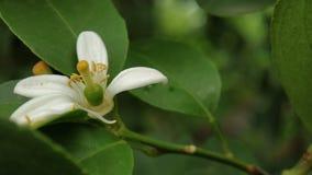 Colpo del fiore del limone macro messo a fuoco bene con le foglie verdi fotografie stock libere da diritti