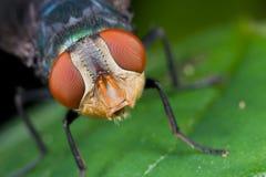 Colpo del fronte di una mosca Fotografia Stock
