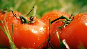 Colpo del movimento lento di acqua che è versata sui pomodori maturi archivi video