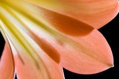 Colpo del particolare del pedale del fiore del giglio Immagini Stock Libere da Diritti