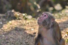 Colpo del primo piano della scimmia Fotografia Stock Libera da Diritti