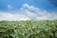 Colpo del primo piano delle piante di soia verde Fotografia Stock