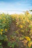 Colpo del primo piano delle piante di soia verde Fotografie Stock Libere da Diritti