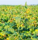 Colpo del primo piano delle piante di soia verde Fotografia Stock Libera da Diritti