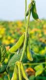 Colpo del primo piano delle piante di soia verde Fotografie Stock