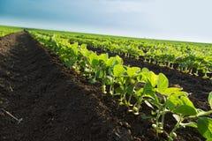 Colpo del primo piano delle piante di soia verde, organico misto e gmo Fotografia Stock Libera da Diritti