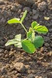 Colpo del primo piano delle piante di soia verde, organico misto e gmo Immagini Stock Libere da Diritti