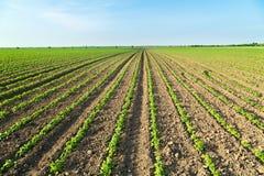 Colpo del primo piano delle piante di soia verde, organico misto e gmo Fotografia Stock