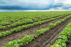 Colpo del primo piano delle piante di soia verde, organico misto e gmo Fotografie Stock Libere da Diritti