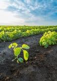 Colpo del primo piano delle piante di soia verde, organico misto e gmo Fotografie Stock