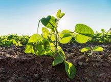 Colpo del primo piano delle piante di soia verde, organico misto e gmo Immagine Stock Libera da Diritti
