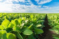 Colpo del primo piano delle piante di soia verde, organico misto e gmo Immagini Stock