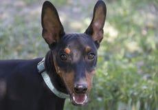 Colpo dell'orecchio del pinscher di Dobermann immagine stock