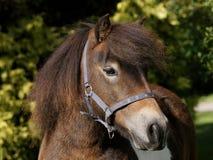 Colpo della testa del cavallino di Shetland Fotografia Stock Libera da Diritti