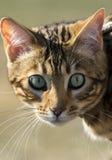Colpo della testa del gattino di Begal Immagine Stock