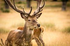 Colpo della testa del maschio dei cervi Fotografia Stock