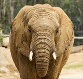 Colpo della testa dell'elefante africano Fotografia Stock
