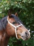 Colpo della testa dello Stallion di Lingua gallese Fotografia Stock Libera da Diritti