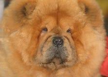 Colpo della testa di cane Fotografia Stock Libera da Diritti