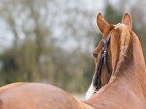 Colpo della testa di cavallo Fotografia Stock Libera da Diritti