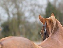 Colpo della testa di cavallo Fotografia Stock