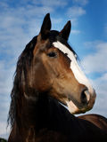 Colpo della testa di cavallo della baia Fotografia Stock