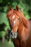 Colpo della testa di cavallo della castagna Fotografia Stock