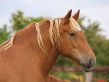 Colpo della testa di cavallo della castagna Fotografia Stock Libera da Diritti