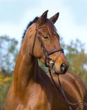 Colpo della testa di cavallo di Trekehner Fotografia Stock Libera da Diritti