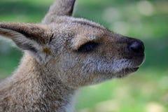 Colpo della testa di Kangeroo dell'australiano Fotografia Stock