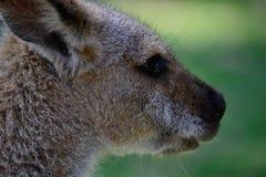 Colpo della testa di Kangeroo dell'australiano Fotografie Stock
