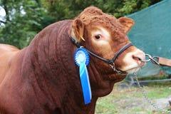 Colpo della testa di vista laterale di una mucca di conquista del bestiame del premio con la rosetta Fotografie Stock