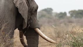 Colpo della testina di alimentazione dell'elefante stock footage