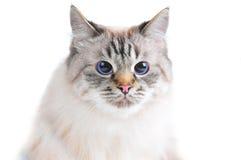 Colpo dello studio del gatto Fotografia Stock Libera da Diritti