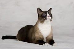 Colpo dello studio del gatto siamese Immagini Stock Libere da Diritti