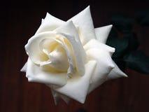 Colpo dello studio della rosa di bianco isolato su fondo nero Fotografie Stock