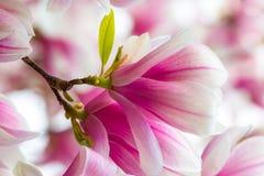 Colpo dettagliato di un fiore della magnolia fotografie stock