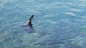 Colpo di angolo alto di un nuoto del leone marino ai lobi di isla nelle isole di galapagos archivi video