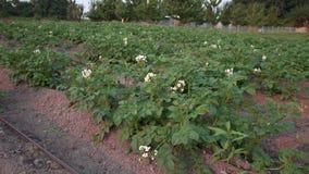 Colpo di fioritura 4K UHD del carrello delle piante di patate stock footage