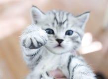 Colpo di macro del gattino della zampa Fotografie Stock