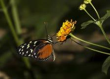 Colpo di macro della farfalla Fotografie Stock