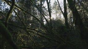 Colpo di nord-ovest pacifico del carrello del muschio della foresta pluviale stock footage