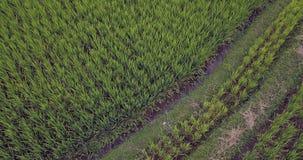 Colpo di vista aerea con il fuco del paesaggio rurale di Ubud dell'asiatico delle risaie organiche verdi nell'isola di Bali in In Immagine Stock Libera da Diritti